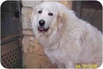 Great Pyrenees Dog for adoption in Kyle, Texas - JP