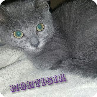 Domestic Shorthair Kitten for adoption in Cincinnati, Ohio - Morticia