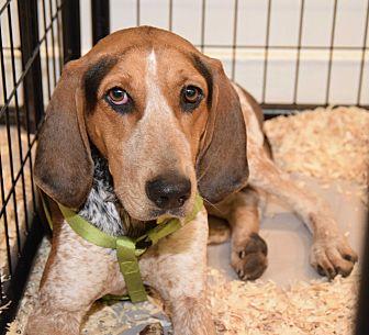 Bluetick Coonhound Mix Dog for adoption in New York, New York - Josie