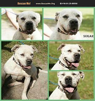 American Bulldog Dog for adoption in Homestead, Florida - sugar
