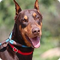 Adopt A Pet :: Royce aka Duke - Fillmore, CA