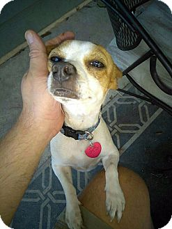 Jack Russell Terrier/Chihuahua Mix Dog for adoption in West Bloomfield, Michigan - Popeye - Adopted!
