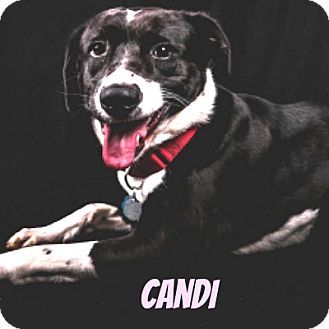 Border Collie Mix Dog for adoption in Middleton, Wisconsin - Candi