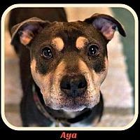 Adopt A Pet :: Aya - Memphis, TN