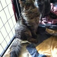 Domestic Shorthair/Domestic Shorthair Mix Cat for adoption in Spearfish, South Dakota - Price