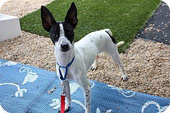 Miniature Pinscher/Italian Greyhound Mix Dog for adoption in Medfield, Massachusetts - Fawn