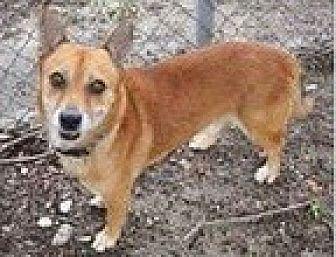 Corgi Dog for adoption in Ft Myers Beach, Florida - Last chance!!!