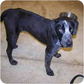 Australian Cattle Dog/Hound (Unknown Type) Mix Dog for adoption in Avon, New York - Cooper