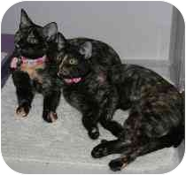 Domestic Shorthair Kitten for adoption in Marietta, Georgia - Ava