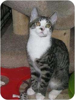 Domestic Shorthair Kitten for adoption in Bloomsburg, Pennsylvania - Simon