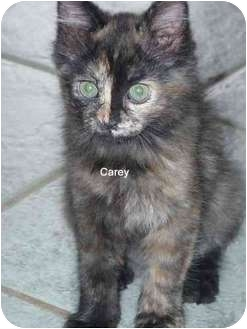 Domestic Mediumhair Kitten for adoption in San Diego/North County, California - Carey