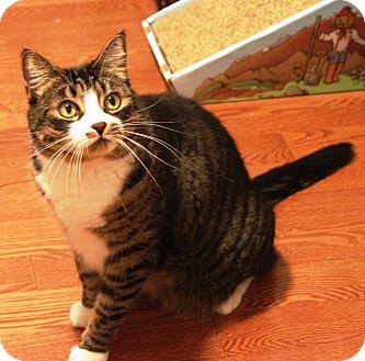 Domestic Shorthair Cat for adoption in Saanichton, British Columbia - Leila