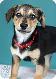 Beagle/Husky Mix Puppy for adoption in Worcester, Massachusetts - Puppy- Buzz