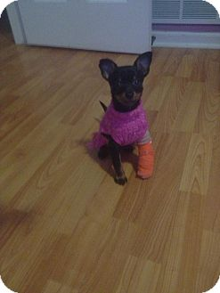Miniature Pinscher/Chihuahua Mix Puppy for adoption in Hainesville, Illinois - Zippy