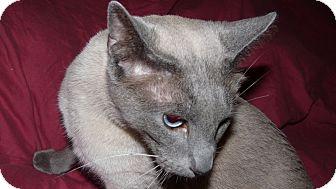 Siamese Cat for adoption in Bentonville, Arkansas - Stanley