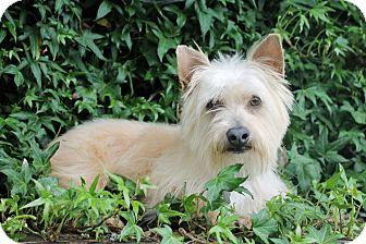 Silky Terrier Mix Dog for adoption in Salem, Oregon - Eddie