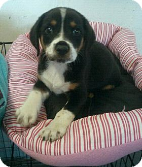 Bernese Mountain Dog/Labrador Retriever Mix Puppy for adoption in Groton, Massachusetts - Spangle