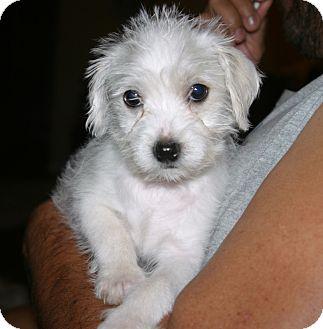 Maltese/Poodle (Miniature) Mix Puppy for adoption in Santa Ana, California - QT