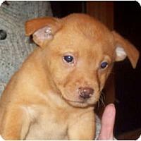Adopt A Pet :: RATCHET - Southport, NC