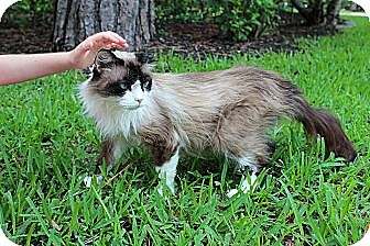 Ragdoll Cat for adoption in The Woodlands, Texas - Mia