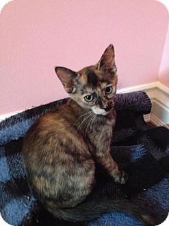 Domestic Shorthair Kitten for adoption in Sterling Heights, Michigan - Missy-ADOPTED