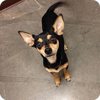 Chihuahua Mix Dog for adoption in Peoria, Arizona - Atticus