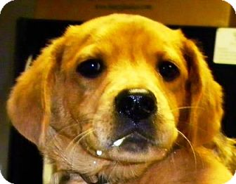 Basset Hound/Retriever (Unknown Type) Mix Puppy for adoption in Lincolnton, North Carolina - Bert