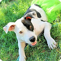 Adopt A Pet :: Molly - Gilbert, AZ