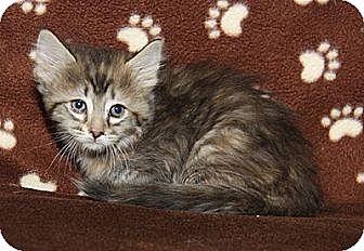Domestic Shorthair Kitten for adoption in Orland Park, Illinois - Maple