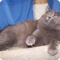 Adopt A Pet :: Baloo - Colorado Springs, CO