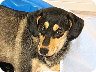 Shepherd (Unknown Type) Dog for adoption in Westwood, New Jersey - Bonnie