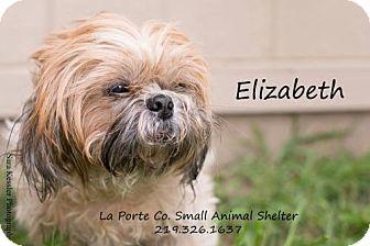 Shih Tzu Dog for adoption in La Porte, Indiana - Elizabeth