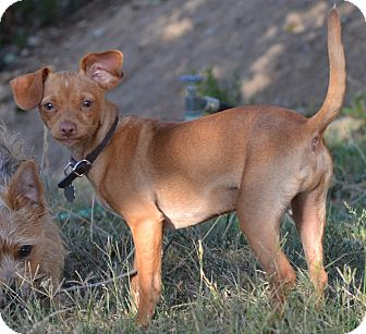 Dachshund/Miniature Pinscher Mix Puppy for adoption in Simi Valley, California - Riley