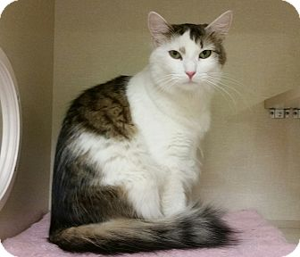 Turkish Angora Cat for adoption in Phoenix, Arizona - Luke