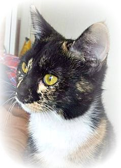 Domestic Shorthair Cat for adoption in Ocean Springs, Mississippi - Toree