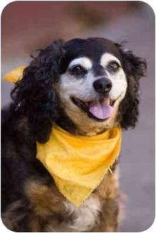 Cocker Spaniel Mix Dog for adoption in Portland, Oregon - Teddy