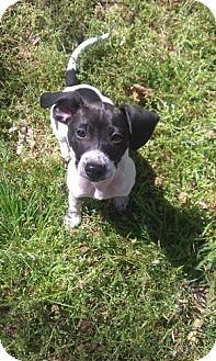 Basset Hound/Labrador Retriever Mix Puppy for adoption in Conway, Arkansas - Trishia