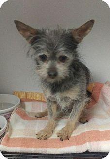 Yorkie, Yorkshire Terrier Mix Dog for adoption in Apache Junction, Arizona - Yankee