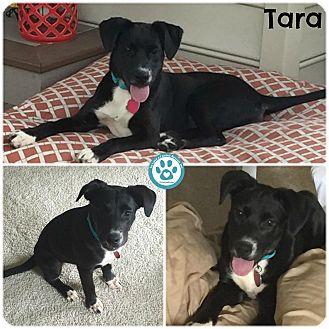 Labrador Retriever Mix Puppy for adoption in Kimberton, Pennsylvania - Tara