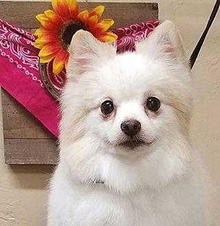 Pomeranian Dog for adoption in Norman, Oklahoma - Thor 2