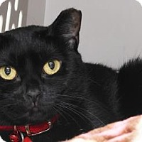 Domestic Shorthair Cat for adoption in Venice, Florida - Silhouette