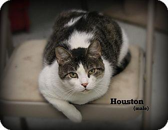 Domestic Shorthair Cat for adoption in Glen Mills, Pennsylvania - Houston