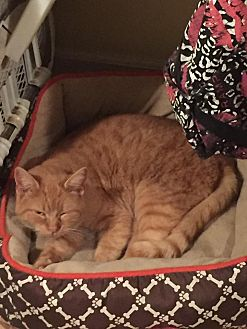 Domestic Shorthair Cat for adoption in North Branch, Michigan - Duncan