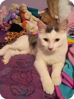 Domestic Shorthair Cat for adoption in Worcester, Massachusetts - Presley