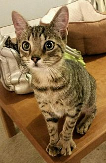 Domestic Shorthair Cat for adoption in Rockaway, New Jersey - Flicka