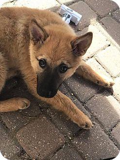 German Shepherd Dog/Labrador Retriever Mix Puppy for adoption in Regina, Saskatchewan - Foxy Brown