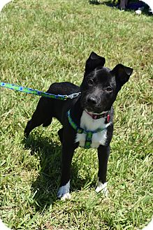 Labrador Retriever/American Staffordshire Terrier Mix Dog for adoption in Memphis, Tennessee - Sophie
