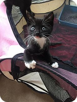 Domestic Shorthair Kitten for adoption in Baltimore, Maryland - .Quincy