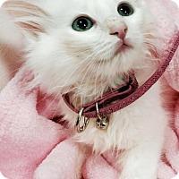 Maine Coon Kitten for adoption in Greensburg, Pennsylvania - Diamond