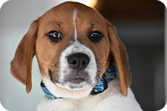 Boxer/Labrador Retriever Mix Puppy for adoption in Columbia, Maryland - Alex